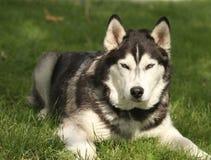 Siberian Husky in grass looking alert Stock Photo