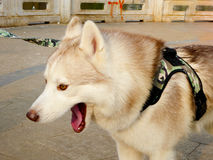 Siberian Husky Royalty Free Stock Photography