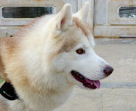 Siberian Husky Stock Photo