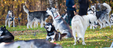 Siberian Husky group Royalty Free Stock Images