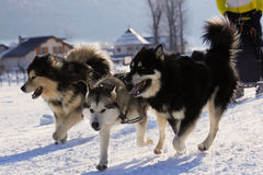 Siberian husky. Group of sled dogs running through lonely winter landscape royalty free stock photo