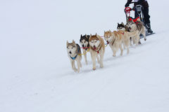 Siberian Husky. Group of sled dogs running through lonely winter landscape stock photos