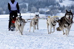 Siberian Husky. Group of sled dogs running through lonely winter landscape royalty free stock images
