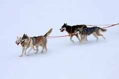 Siberian Husky. Group of sled dogs running through lonely winter landscape stock photo