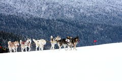 Siberian Husky. Group of sled dogs running through lonely winter landscape royalty free stock image