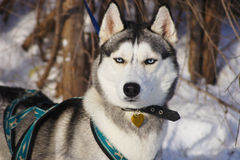 Siberian Husky in harness. Siberian Husky dog breed in harness Royalty Free Stock Images