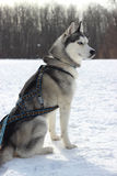 Siberian Husky in harness racing Royalty Free Stock Photography