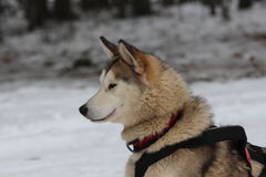 A Siberian husky in harness. Stock Photo