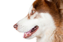 Siberian husky head close up Royalty Free Stock Image