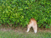 Siberian Husky hide in The Tree. The Siberian Husky hide in The Tree Stock Images