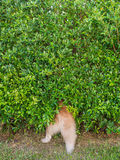Siberian Husky hide in The Tree. The Siberian Husky hide in The Tree Royalty Free Stock Photography