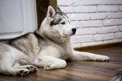 Siberian husky at home lying on the floor. lifestyle with dog.  Royalty Free Stock Photos