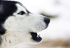 Siberian Husky howling Stock Photo