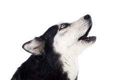 Siberian Husky howling. On a white background in studio Stock Photos