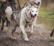 Siberian Husky Royalty Free Stock Photo