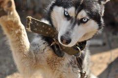 Siberian Husky Stock Photography