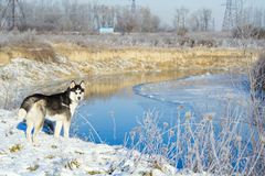 Siberian husky i vinter royaltyfria foton