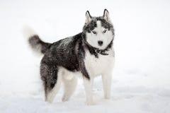 Siberian husky i vinter royaltyfri fotografi