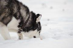 Siberian husky i vinter arkivbild