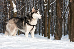 Free Siberian Husky II Stock Photography - 94528902