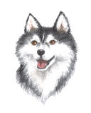 The Siberian husky. Image of a big thoroughbred dog. Watercolor painting Stock Photos