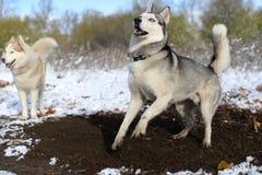 Siberian husky impatience dig Royalty Free Stock Photos