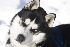Siberian Husky In The Snow Royalty Free Stock Images