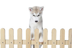 Siberian husky inside palisade isolated on white background Royalty Free Stock Photo
