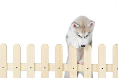 Siberian husky inside palisade isolated on white background royalty free stock image