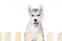 Siberian husky inside palisade isolated on white background Stock Photos