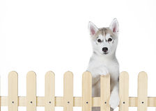 Siberian husky inside palisade isolated on white background Stock Photo