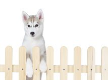 Siberian husky inside palisade isolated on white background Royalty Free Stock Images