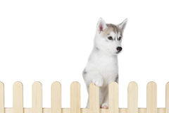 Siberian husky inside palisade isolated on white background Stock Images