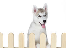 Siberian husky inside palisade isolated on white background Stock Image