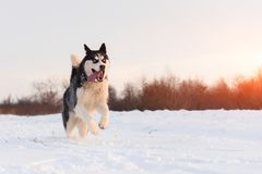 Siberian husky and jack russel terrier royalty free stock photography