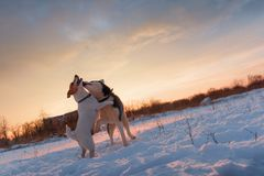 Siberian husky and jack russel terrier royalty free stock photos