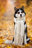 Siberian Husky by John Lennon. Reincarnation of John Lennon. Siberian Husky in the fall sits in sunglasses and a scarf in yellow l. Eaves stock images