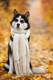 Siberian Husky by John Lennon. Reincarnation of John Lennon. Siberian Husky in the fall sits in sunglasses and a scarf in yellow stock images