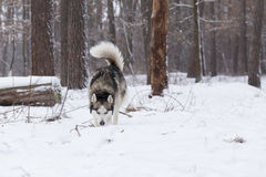 Siberian Husky keeps track of prey by smell. Stock Images