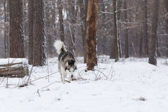 Siberian Husky keeps track of prey by smell. Royalty Free Stock Photography