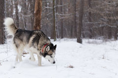 Siberian Husky keeps track of prey by smell. Royalty Free Stock Photo