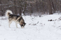 Siberian Husky keeps track of prey by smell. Royalty Free Stock Image