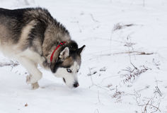 Siberian Husky keeps track of prey by smell. Stock Image