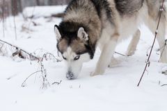 Siberian Husky keeps track of prey by smell. Royalty Free Stock Photos