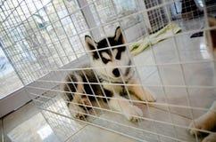 Siberian Husky Kid Royaltyfri Foto