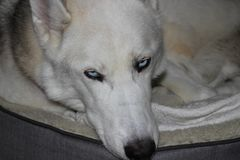 Siberian husky laying in his dog bed looking relaxed stock images