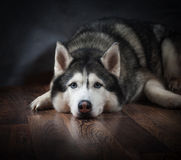 Siberian husky laying sad Royalty Free Stock Photos