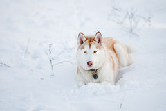 Siberian Husky. Laying in the snow Royalty Free Stock Photo