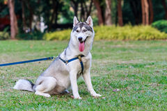Siberian husky on a leash Stock Photo
