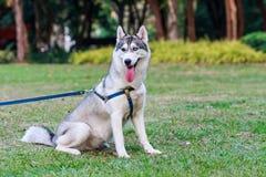 Siberian husky on a leash. In the park Stock Photo